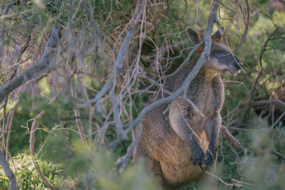 wallabie in bushland photo