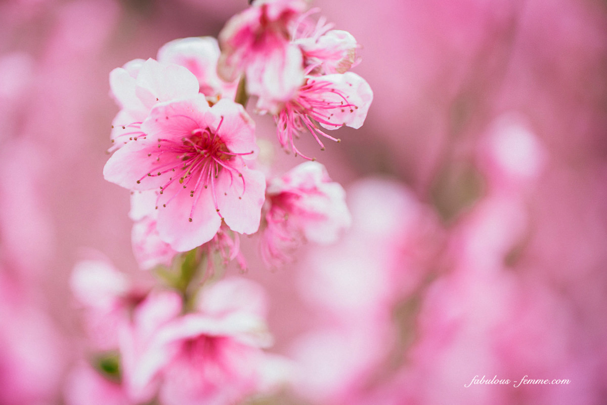 flowers and blossoms - pink peach