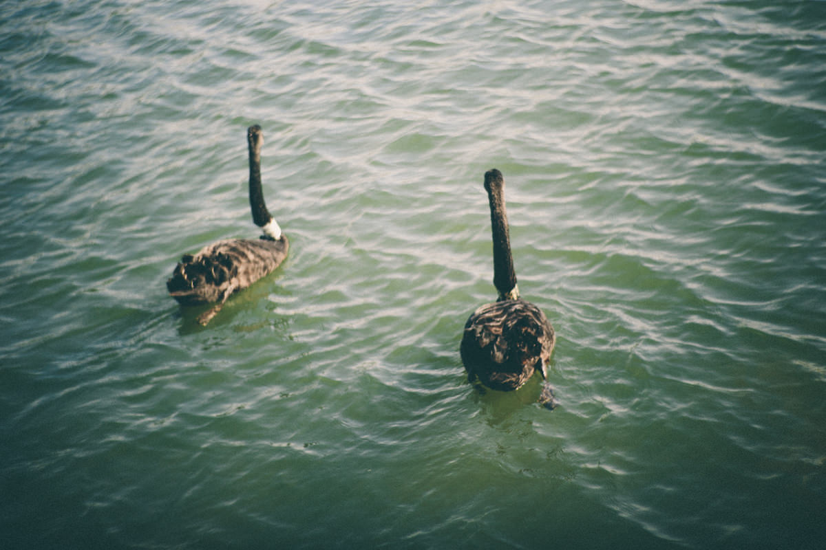 swans albert park
