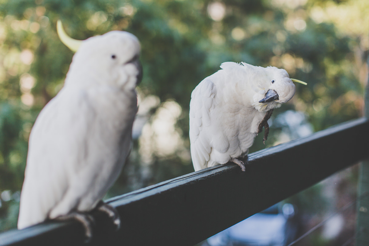 visitors in the morning - cockatoos in lorne