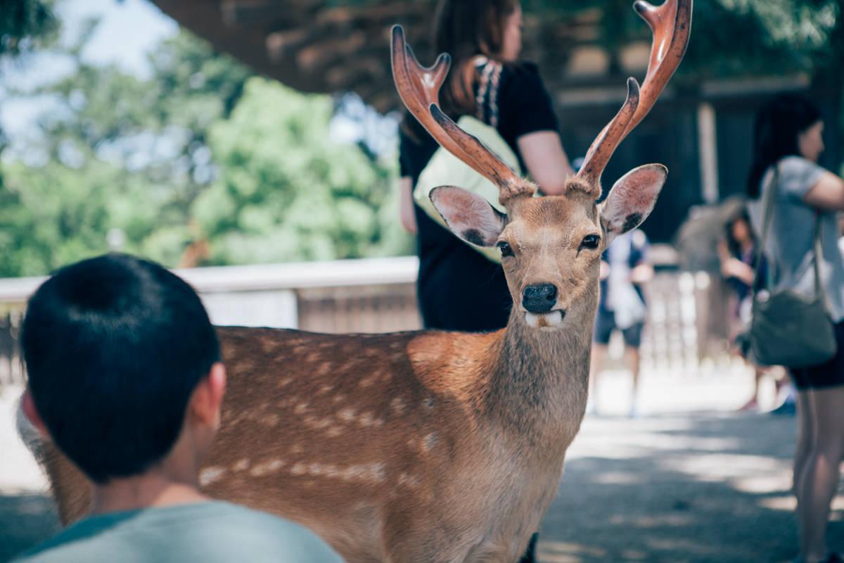 deer staring at child in nara park, japan