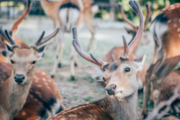 Deer in Nara - Travel Photography in Japan