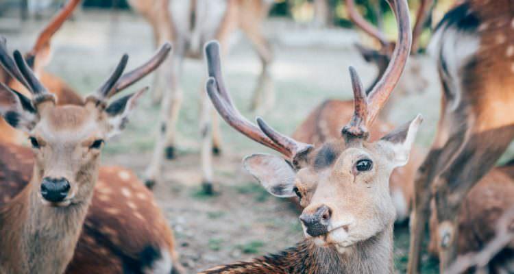 Deer in Nara - Travel Photography in Japan
