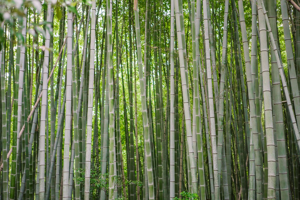 dense bamboo forest photo - green