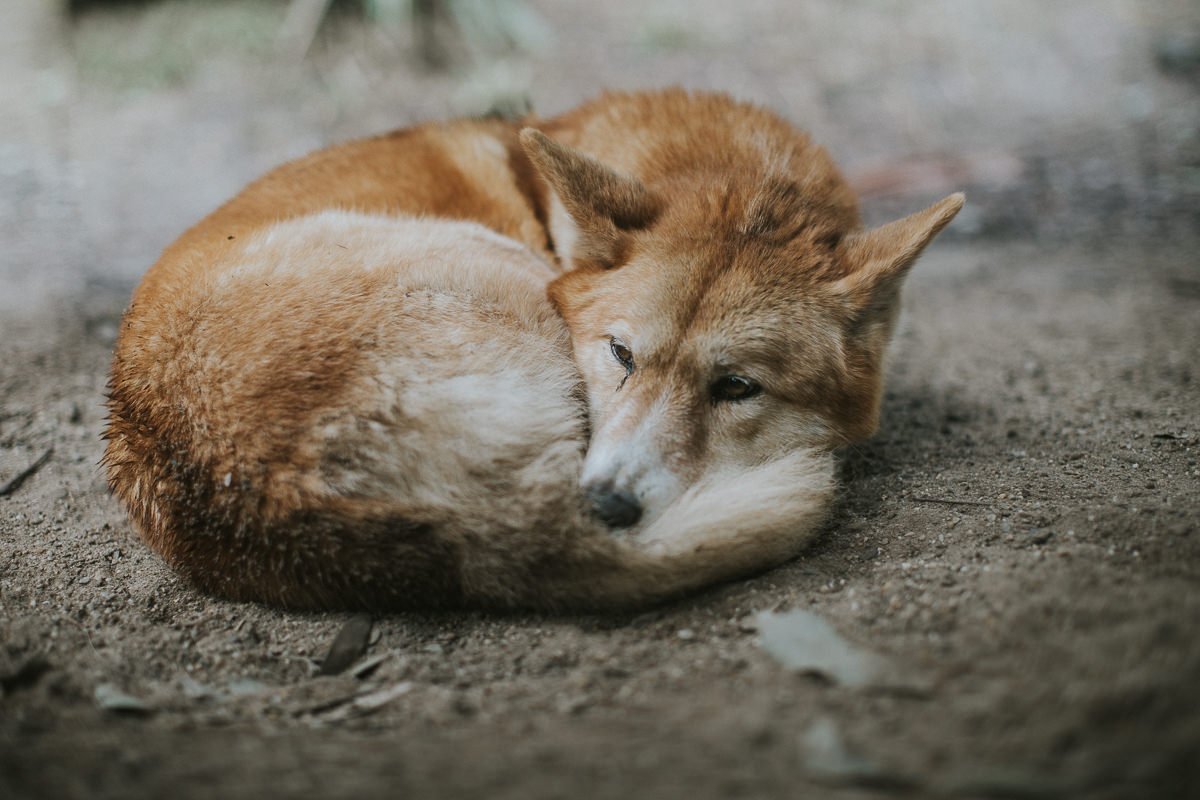 sleeping curled up dingo - australian animal