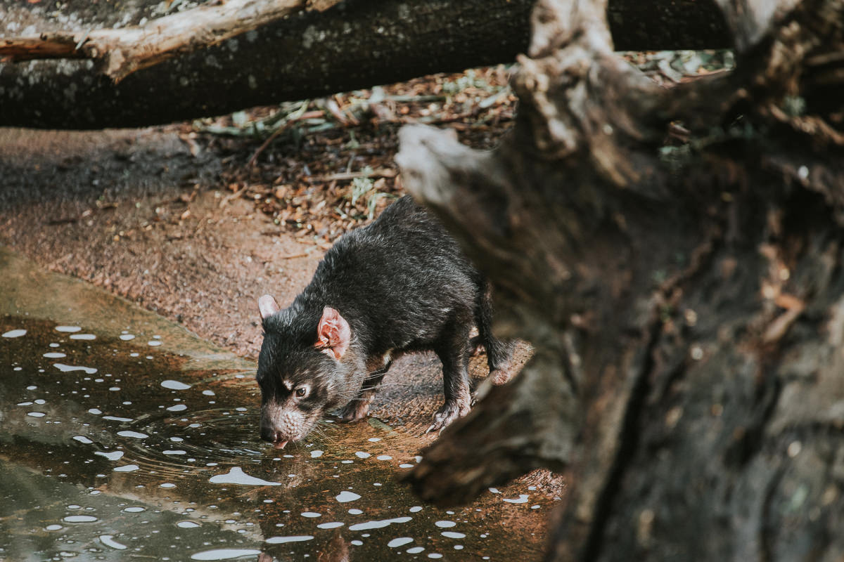 tasmanian devil drinking water at river