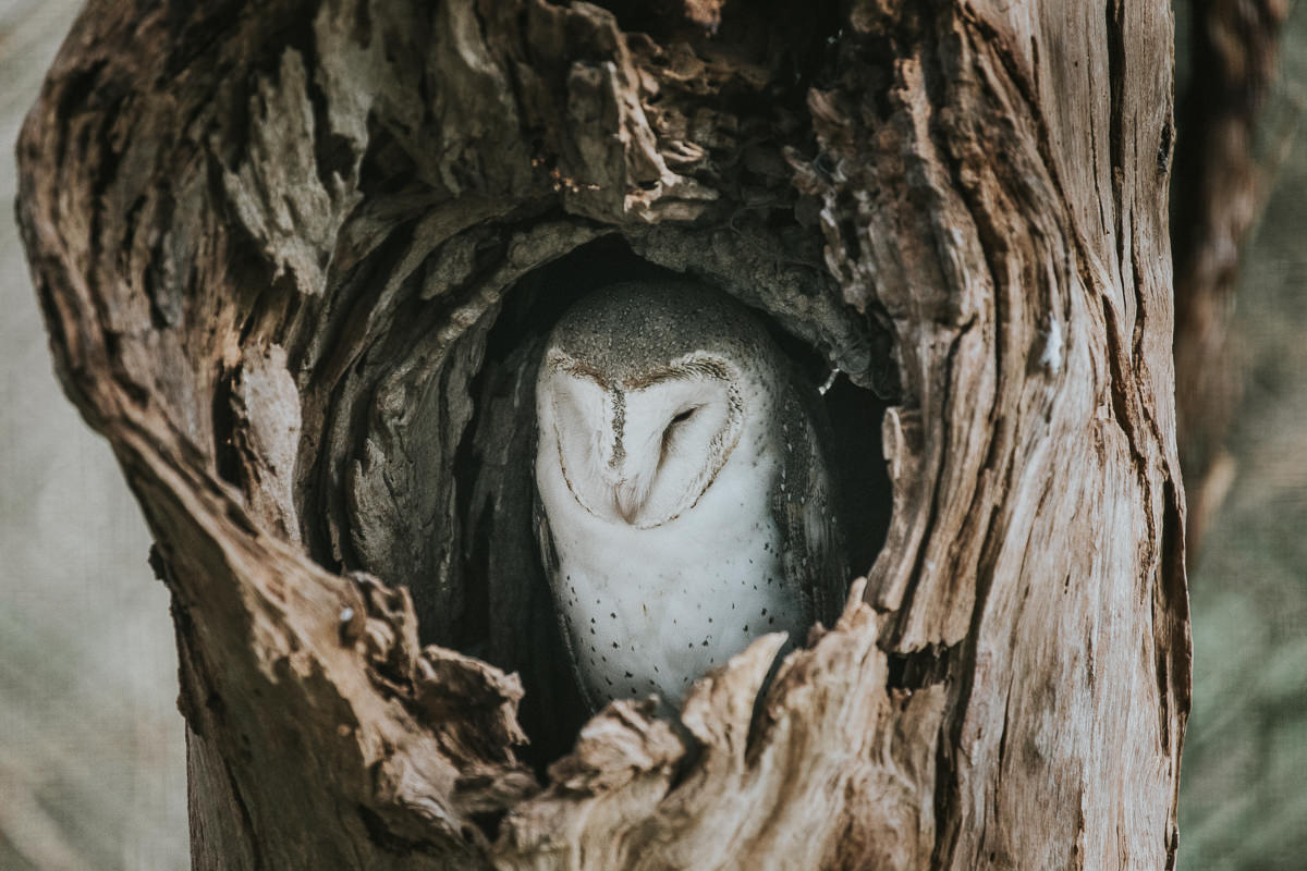 owl in tree trunk hiding