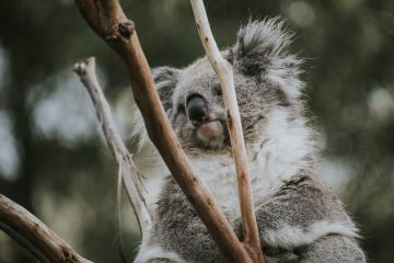 Koala in tree at Healsville sanctuary