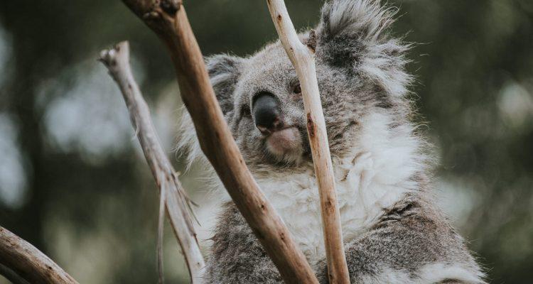 Koala in tree at Healsville sanctuary
