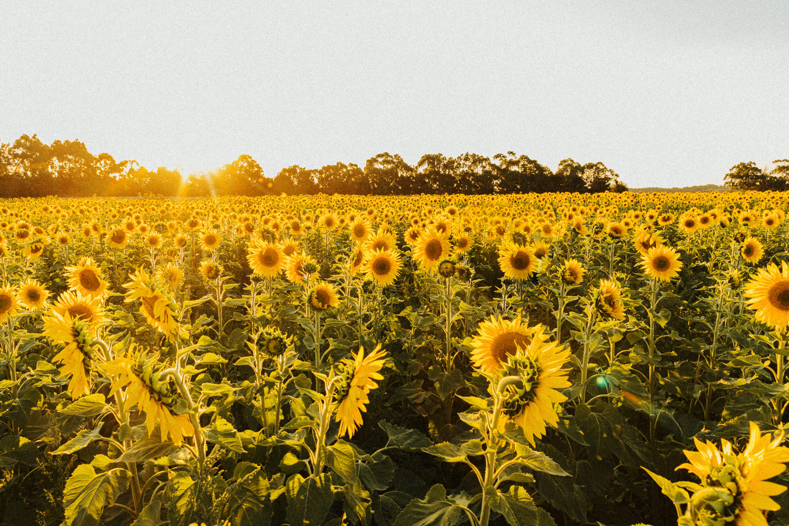 sunflower field near melbourne, australia - best photos of sunflowers