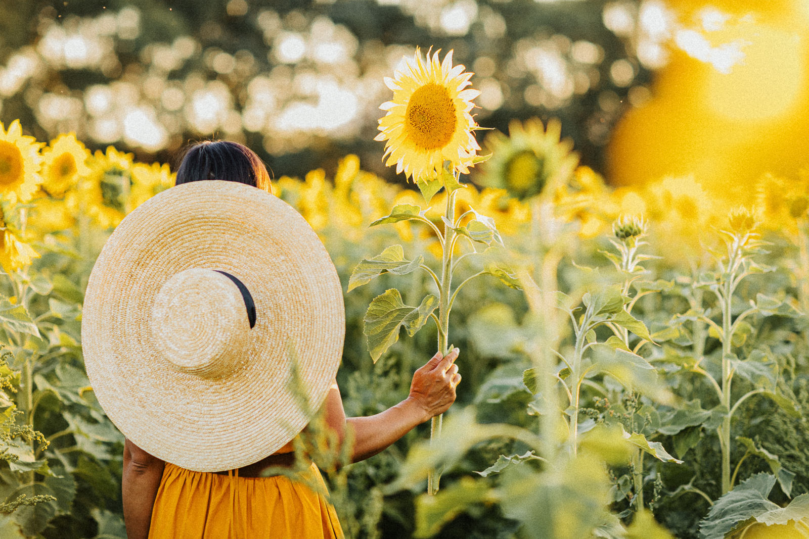 sunflower picking - girl in yellow dress in sunflower field