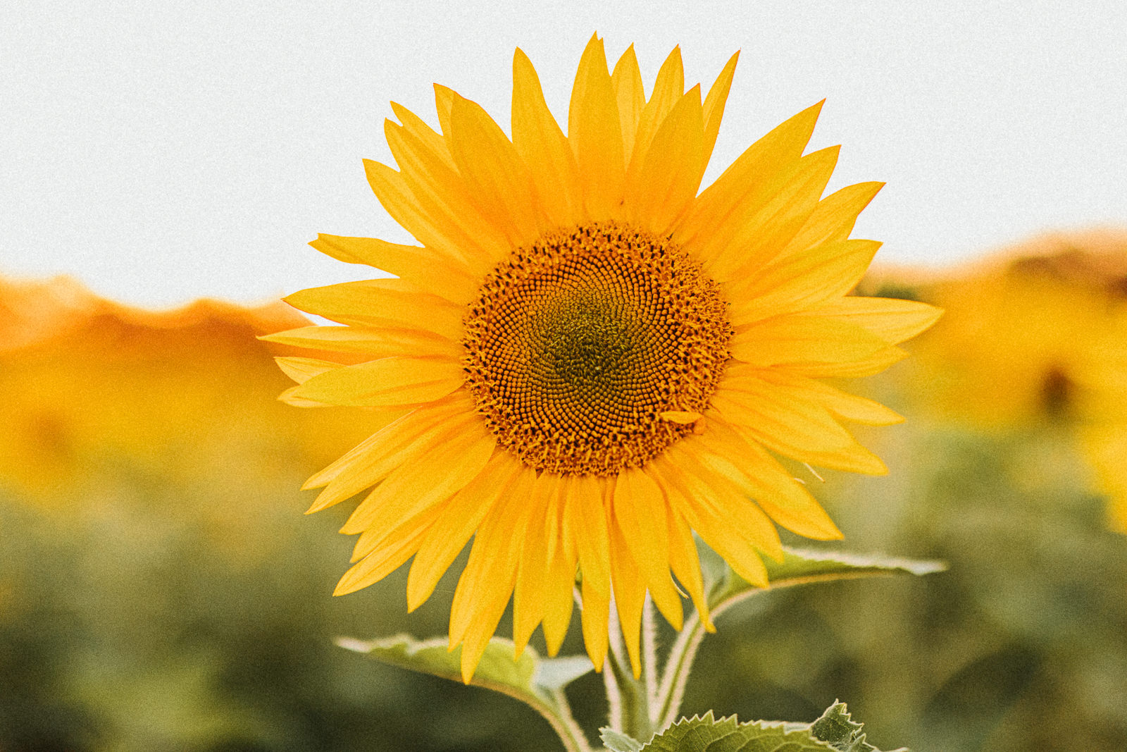 beautiful photo of sunflower in bloom