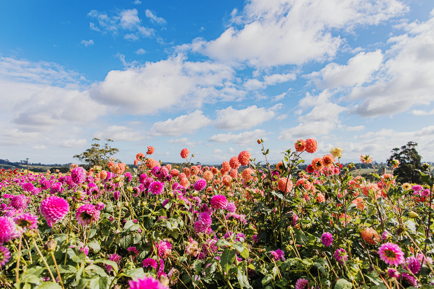 blue sky and clouds over flower field